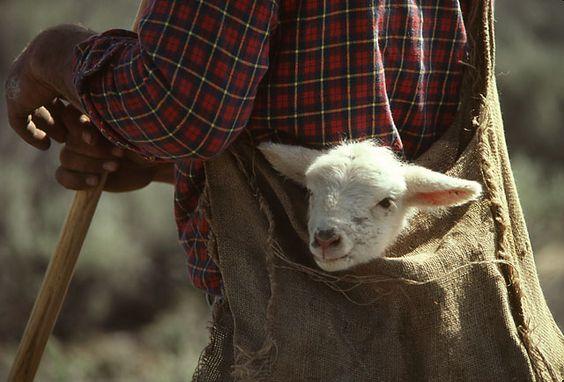 L'élevage ovin en sud-Isère  >>>  La Gazette sud-Isère